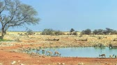 namib desert : Wide angle panorama wild animals like zebras, hartebeests and springboks drinking at Okaukuejo waterhole in Etosha National Park, Namibia. Blue sky, copy space. Dry season. Stock Footage