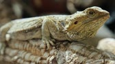 ještěrka : The Pogona Vitticeps also called Dragon bearded for the scales under the neck that swell and darken when its angry, is a reptile living in Australia in the desertic wildlife.