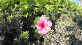 natural drink : pink hibiscus flower in California in spring season, close up on green leaves background. The hibiscus is the national flower of Malaysia.