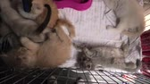 siyam : Kittens in cage playing: siamese cat with blue eyes, a furry red Turkish Angora cat looking with green eyes and a grey Angora kitten.