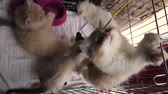 turečtina : Kittens in cage: siamese cat with blue eyes, a furry red Turkish Angora cat and a grey Angora kitten playing with pet toy.