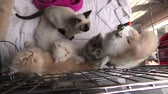 turečtina : Kittens in cage: siamese cat with blue eyes, furry Turkish Angora cats and persian cats looking with green eyes and playing with a pet toy.
