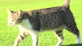 bitang : stray tiger cat walking on the green grass, isolated on background. Stock mozgókép
