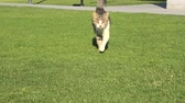 mew : Tabby cat with yellow eyes walking straight on the green grass, isolated on green background.