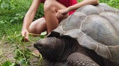 SLOW MOTION: Caucasian woman in red dress feeding Aldabra Giant Tortoise, Aldabrachelys gigantea, a tortoise native to Aldabra atoll in Seychelles. Happy female enjoys wildlife of wild island La Digue