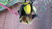 flying fox : Fruit bat of Seychelles hanging down eating mango fruits. The Pteropus seychellensis is a species of megabat of Pteropodidae family, living in Seychelles islands of Africa. SLOW MOTION view.