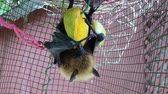 SLOW MOTION: flying fox of Seychelles eating mango fruit hanging upside down. The Pteropus seychellensis is a species of megabat in the Pteropodidae family, living in Seychelles islands of Africa. Dostupné videozáznamy