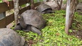 SLOW MOTION: Women feeding a male of Aldabra Giant Tortoise, Aldabrachelys gigantea, a tortoise native to Aldabra atoll. Praslin in Seychelles, archipelago of Indian Ocean. 動画素材