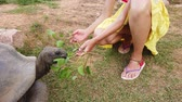 Caucasian woman in yellow dress feeding Aldabra Giant Tortoise, Aldabrachelys gigantea, a tortoise native to Aldabra atoll in Seychelles. Happy female enjoys wildlife of wild island La Digue