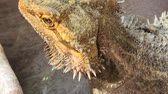 vertebre : Pogona Vitticeps or Bearded Dragon, drinking water in the pool. close up Vidéos Libres De Droits