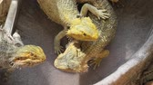 vertebre : Bearded Dragon lizard playing in the water pool. Australian reptile living in the wildlife. Vidéos Libres De Droits