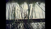 crocodilo : Alligator swimming in the Everglades National Park in Florida. Historical United States of America in 1979. Stock Footage