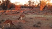 ausztrál : SLOW MOTION red kangaroos standing and eating in the wilderness. Outback of Central Australia. Australian Marsupial, Macropus rufus, Northern Territory, Red Centre. Desert landscape at sunset light. Stock mozgókép