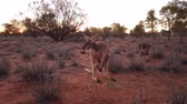 ausztrál : mother kangaroo with a joey in a pocket, Macropus rufus, on the red sand of outback central Australia at sunset. Australian Marsupial in Northern Territory, Red Center.