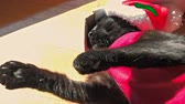 hurafe : SLOW MOTION: smart hungry cat in Santa Claus dress sleeping in box. Christmas holiday concept. Funny greeting card.