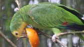amerika papağanı : Yellow-Headed Amazon Parrot Perched on a Branch and Eating an Orange Stok Video