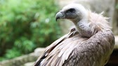 гриф : Close Up Portrait Of A Griffon Vulture (Gyps fulvus) Стоковые видеозаписи