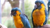 amerika papağanı : Beautiful Couple Of Beautiful Blue And Yellow Macaw Parrots Perched On A Tree Branch Stok Video