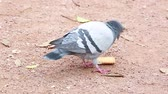 lyon : Dove Bird Eating A Chocolate Biscuit In A Park Stock Footage