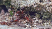 assassinato : Red ants catch and attack a black one