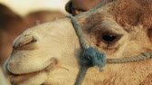 storm : Close up of a camel in Morocco Stock Footage