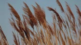 reed : View of Reeds in the wind