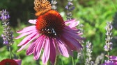 herbaceous : Butterfly on Echinacea flowers in the summer Stock Footage