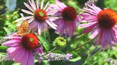 herbaceous : Butterfly and bee on Echinacea flowers in the summer