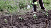plant fertilizer : Farmer sowing ground of her garden Stock Footage