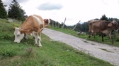 terneros : Cows grazing in the Slovenian mountains