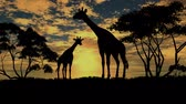 giraffe : giraffe standing and looking around in savanna Stock Footage