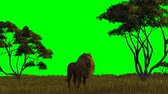 etobur hayvan : lion on savanna background - green screen