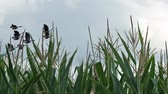 gansos : flock of birds flying past sparrows over cornfield Stock Footage