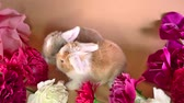lop : Baby rabbit lop and spring flower. Rabbits lops with flowers