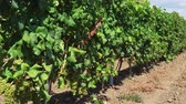 виноград : Wine estate vineyard plantation system with grape vines and plants rows. Plantation with green grapes on trellis formation, used for viticulture vineyard production in Chalkidiki Peninsula, Greece.