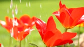 tulip : Beautiful flowers watering video