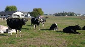 сарай : Amish Farm Cows enjoying a Sunny Day in the Fields