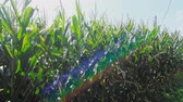 milharal : Amish Corn Fields almost ready for Harvesting Stock Footage