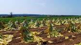 сарай : Amish Tobacco Fields being Harvest