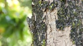 springtime : chirring cicada on tree close up Stock Footage