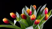 blooming : Bouquet of yellow-red bright tulips rises Stock Footage