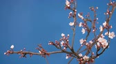 blossoming : spring sakura pink flower blossoming branch