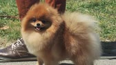 pomeranian spitz : A beautiful red little Pomeranian spitz on grass background