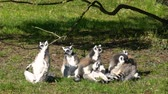 primát : lemurs basking in the sun