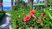 hibisco : Beautiful Hibiscus colourfull blossom flowers in Greek Island
