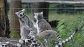 macaco : Funny animal catta lemur monkey, fighting relaxing on the green grass close view