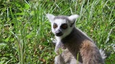opatrný : Portrait Funny animal catta lemur monkey, relaxing on the green grass close view