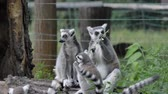 lutte : Funny animal family catta lemur monkey, relaxing on the green grass close view