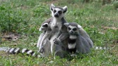 macaco : Funny animal family catta lemur monkey, relaxing on the green grass close view