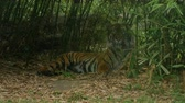 chat : Siberian or Indian tiger, Panthera tigris altaica, sleepy relaxinglow angle direct view